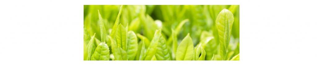 Green tea mint fresh shampoo 1.jpg